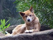 Dingo Image by ,SeanMack