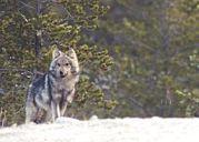 Gray Wolf Image by Peupleloup